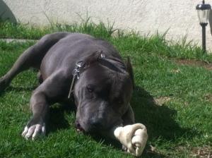 Perro raza American Pitbull terrier